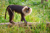 Lion tailed macaque monkey — 图库照片