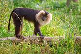 狮尾的猴猴 — 图库照片