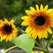 Sunflowers — Stock Photo #9697606