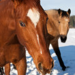 Horses in snow - Stok fotoraf