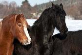 Horses in snow — Stock Photo