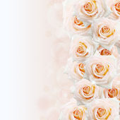 Cream roses background — Stock Photo