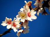 Almond blossoms — Stock Photo