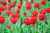 在一张床上的美丽红色郁金香 — 图库照片
