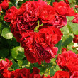 Stock Photo: Beautiful red rose bush