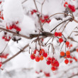 Stock Photo: Rowberries in snow