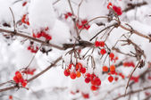 Rowan berries in the snow — Stock Photo