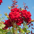 Red rose on a blue background — Stock Photo