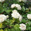 Stock Photo: A bush of beautiful white roses