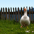 Royalty-Free Stock Photo: Domestic goose
