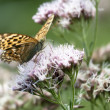 Butterfly  (argynnis paphia) — Stock Photo