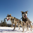 Close up of a sled dog team in action, heading towards the camer — Stock Photo #8855057