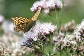 Butterfly (argynnis paphia) — Stock Photo