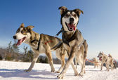 Close up of a sled dog team in action, heading towards the camer — Stock Photo