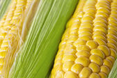 Fresh corn cobs. — Stock Photo