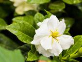 Gardenia (Gardenia jasminoides) — Stock Photo