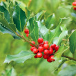 Holly tree branch — Stock Photo