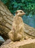 Meerkat (Suricata suricatta) — Stock Photo