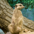 Meerkat (Suricata suricatta) — Stock Photo