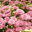 Floral background from chrysanthemums — Stock Photo