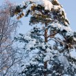 Pine Tree Covered by Snow — Stock Photo