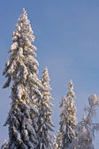 Spruce Trees Covered by Snow — Stock Photo