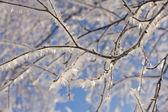 冷冻的白桦树分支 — 图库照片