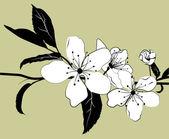 Flowering branch of cherry — Stock Vector