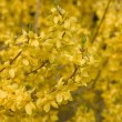 Forsythia blossom - Stock Photo