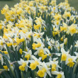 Narcissus Daffodil - Stock Photo