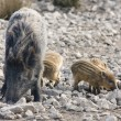 Stock Photo: Female wild boar with piglets