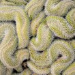 Stock Photo: Curled cactus
