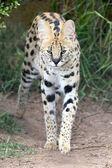 薮猫野生猫 — 图库照片