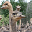 Inquisitive Ostriches — Stock Photo
