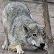 Crouching Wolf — Stock Photo
