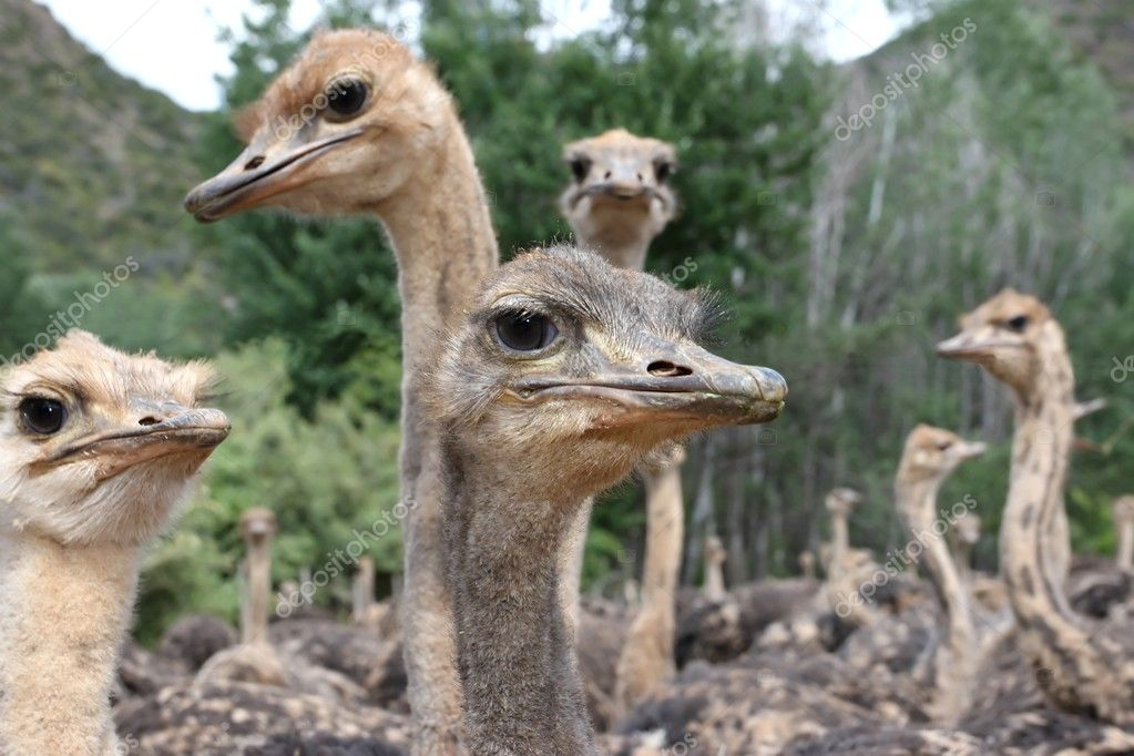 Flock of inquisitive young ostriches in South Africa — Stock Photo #8158691