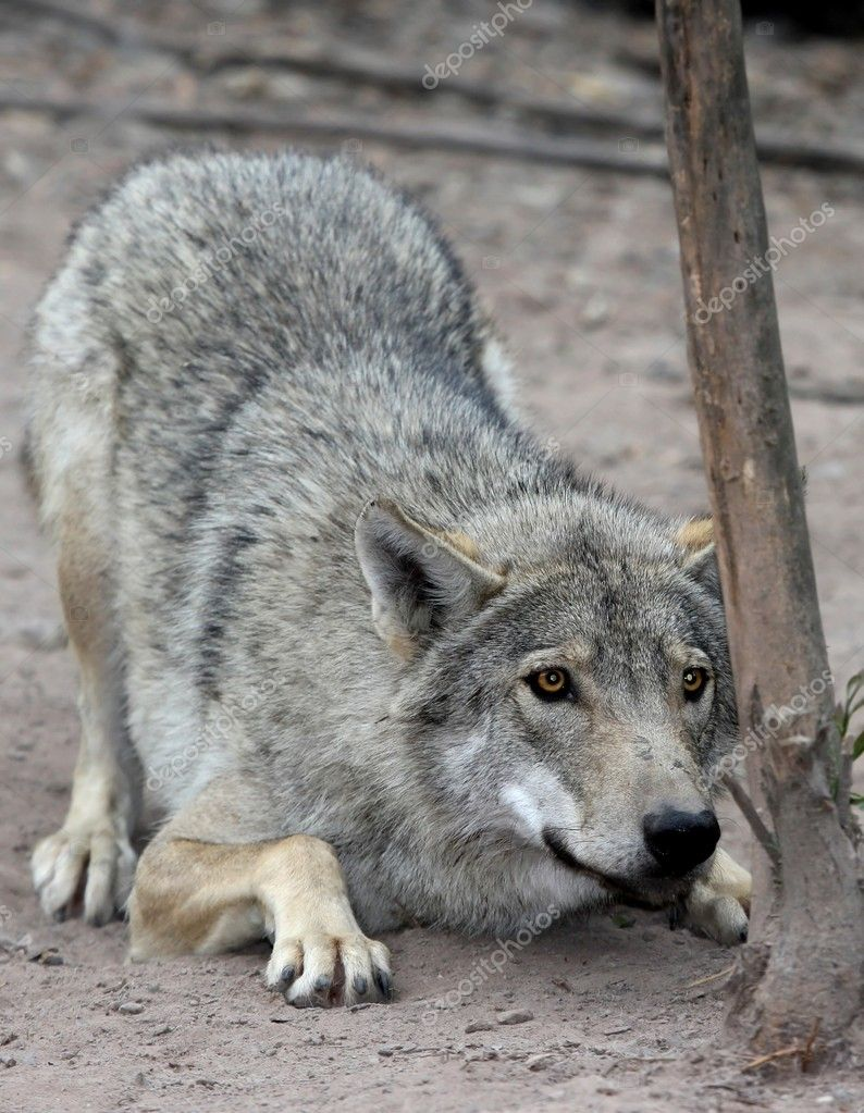 Timber or grey wolf crouched and about to pounce — Stock Photo #8158718