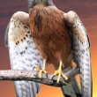 Kestrel Bird of Prey - Stock Photo