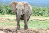 African Elephant Female — Stock Photo