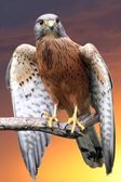 Kestrel Bird of Prey — Stock Photo