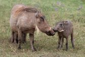 Warthog KIss — Stock Photo