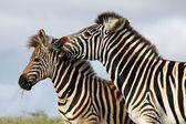 Zebra-Biss — Stockfoto