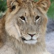 Stock Photo: Young Wild Lion