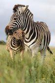 Zebra Bite — Stock Photo