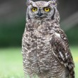 Spotted Eagle Owl on Grass — Stock Photo
