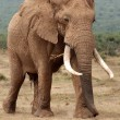 Stock Photo: AfricElephant Bull