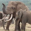 African Elephant Mates - Stock Photo