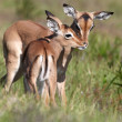 Baby Impala Antelope Kiss - Stock Photo