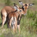 ������, ������: Baby Impala Antelope Kiss