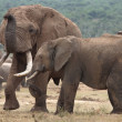 African Elephant Mates — Stock Photo